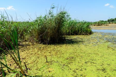 plancton: Contaminación de algas verdes en una superficie del lago