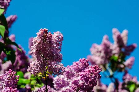 Blossoming branches of the lilac tree on spring