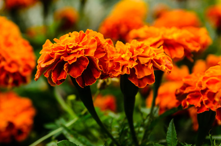 Mexican marigolds (Tagetes erecta, Aztec marigold) on a flowerbed