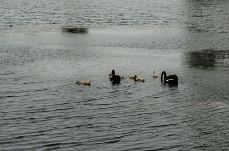 cygnet: Couple of black swans with their nestlings