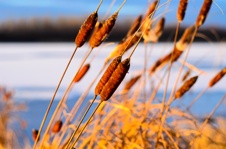 Mature flower spike of the bulrush plant on winter Stock Photo