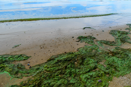 plankton: Green algae pollution on a bank of the river Stock Photo