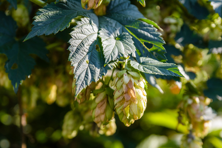common hop: Cones of the common hop. Humulus lupulus
