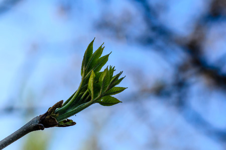 First leaves on branch of the tree Stock Photo