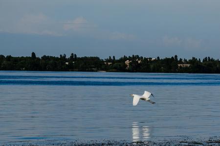 Great egret (ardea alba) in flight above the water surface 版權商用圖片