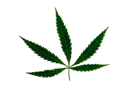 Leaf of the cannabis plant isolated on white background Stock Photo