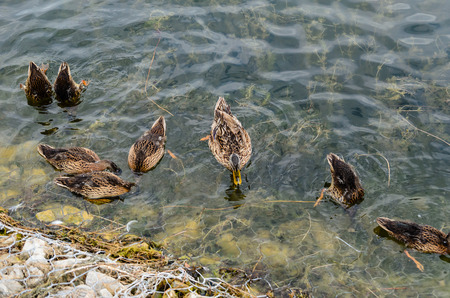 life partners: Wild ducks looking for food in water Stock Photo