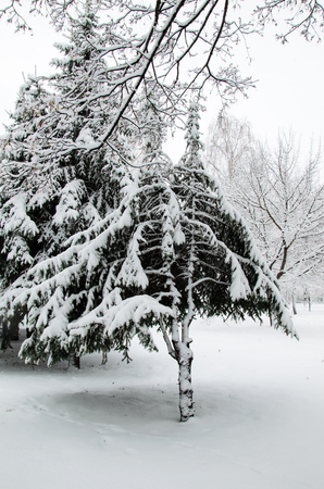 Fir tree covered with the snow in a park
