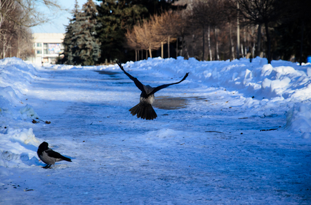Crow in a flight in city park on winter Stock Photo