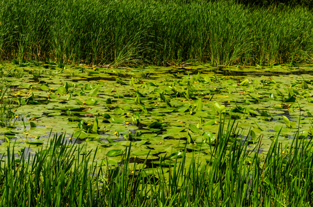 Water lilies on a surface of the river Stock Photo