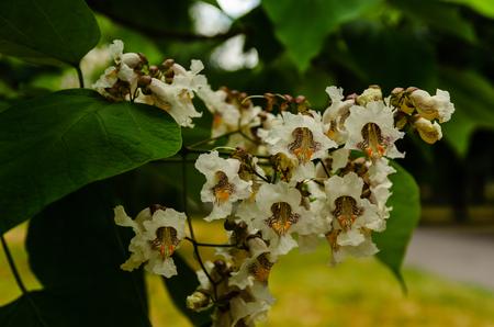 Flowers of the catalpa tree on summer Stock Photo