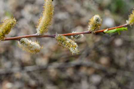 Branch of the pussywillow (Salix caprea) on spring Stock Photo
