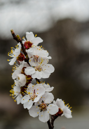 Branch of the blossoming apricot tree on spring
