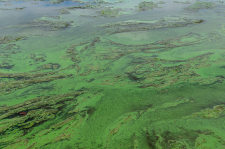 Green algae pollution on a surface of the lake