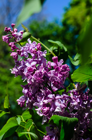Blossoming branch of the lilac tree on spring