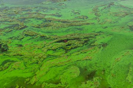 algues vertes algues sur une surface du lac