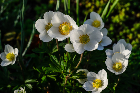 White anemone blossoming in forest on spring