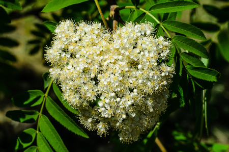 Blossoming branch of the rowan tree on spring Stock Photo