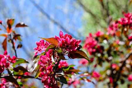Blossoming branch of the crabapple tree on spring