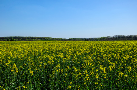 View on a canola field on spring Stock Photo