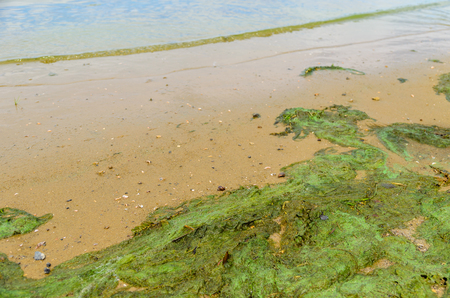 Green algae pollution on a bank of the river Stock Photo