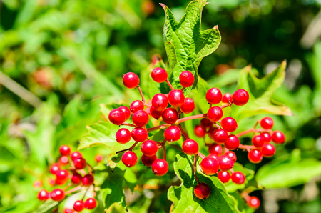 Red berries of the viburnum plant on summer