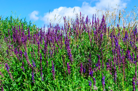 Salvia flowers on a meadow on summer Stock Photo