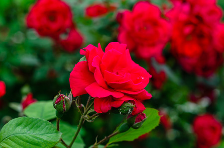Close-up of the red rose flowers on summer Banco de Imagens