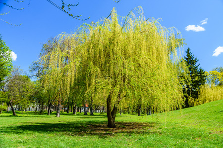 Babylon willow (salix babylonica) in a pubkic park 免版税图像