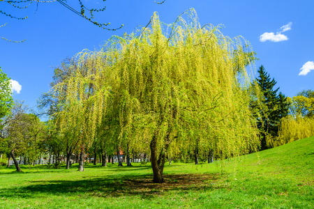 Babylon willow (salix babylonica) in a pubkic park 写真素材