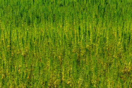 Background of the ripe medical cannabis plant