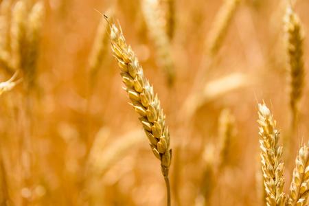 Closeup photo of ripe yellow wheat ear