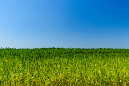 Field of medical cannabis plant on summer Stock Photo