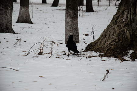 Crow on a snow in city park on winter