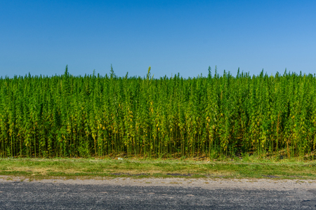 Field of medical cannabis plant on summer Stockfoto