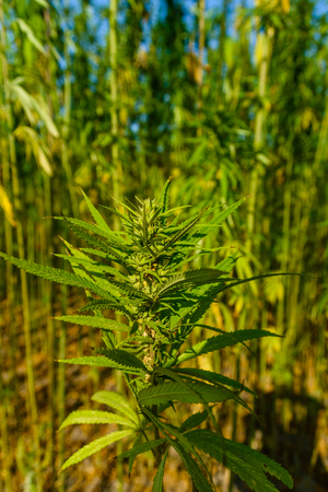 Closeup of the green medical cannabis plant Stok Fotoğraf