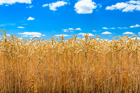 Field of ripe yellow wheat under blue sky and clouds