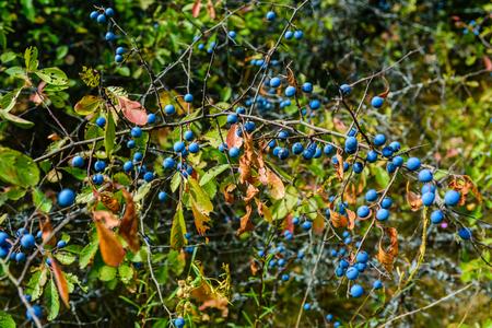 Berries of blackthorn bush in forest on summer 版權商用圖片