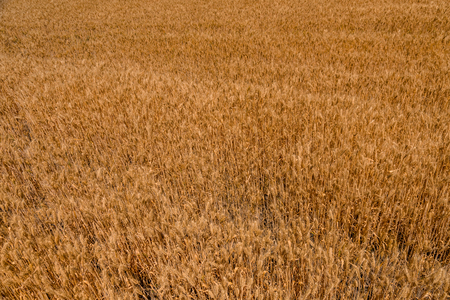 Background of ripe yellow wheat. Agricultural concept 版權商用圖片