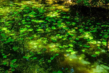 Water lily pads on a surface of lake in forest