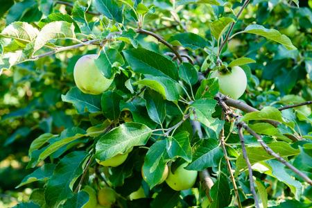 Unripe green apples on branches of apple tree 版權商用圖片
