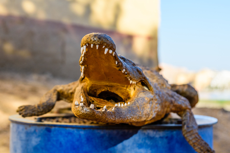 Dried scarecrow of the young nile alligator Stockfoto