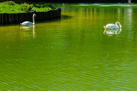 White swan in a pond at city park
