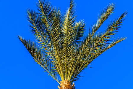 Green date palm tree against blue sky