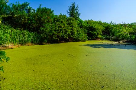 Grüne Wasserlinsen auf einer Sumpfoberfläche im Wald