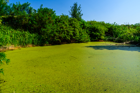Green duckweed on a surface of swamp in forest