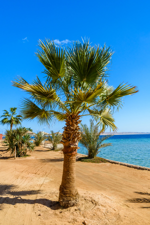 Green sabal palm tree on beach of Red sea Imagens