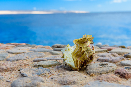 Shell of tridacna mollusk. Red sea on background