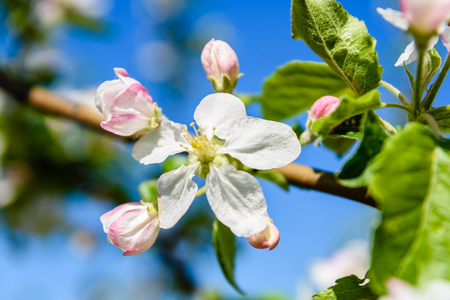 Blossoming branches of apple tree on spring