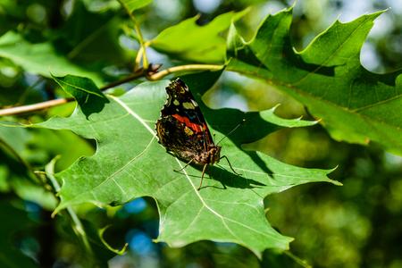 Red admiral (Vanessa atalanta) butterfly on leaf of oak tree Zdjęcie Seryjne